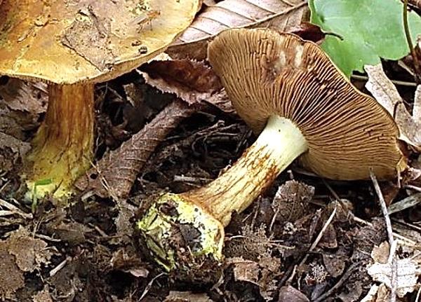 Atlas hub - houby lupenaté - pavučince