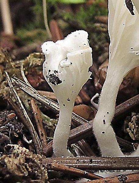 Atlas hub - houby lupenaté