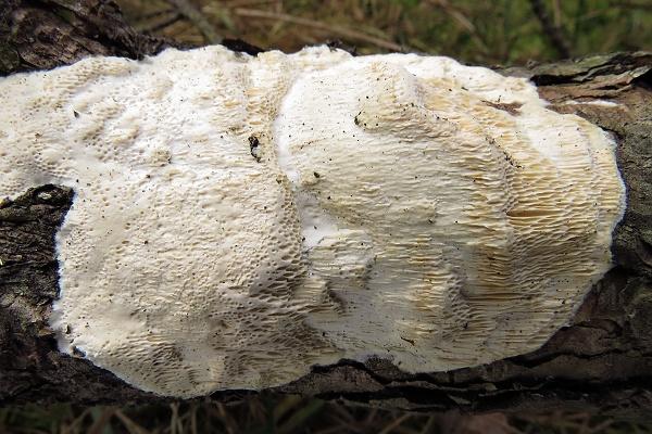 Atlas hub - houby nelupenaté