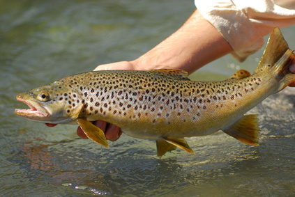 Atlas sladkovodních ryb - Lososovití