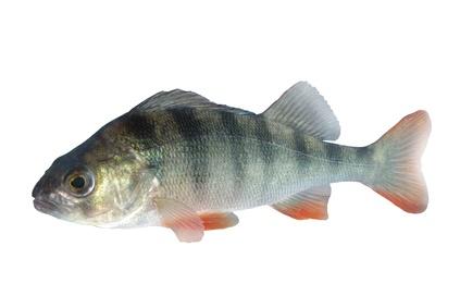 Atlas sladkovodních ryb - Okounovití