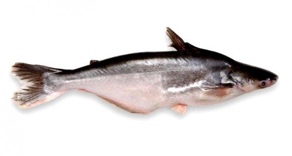 Atlas sladkovodních ryb - Pangasovití