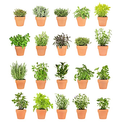 identifying house plants html with Bylinky V Kuchyni 2547 on Agaves as well Bylinky V Kuchyni 2547 further 987645 together with Plant Identification By Picture together with Msg051225351557.
